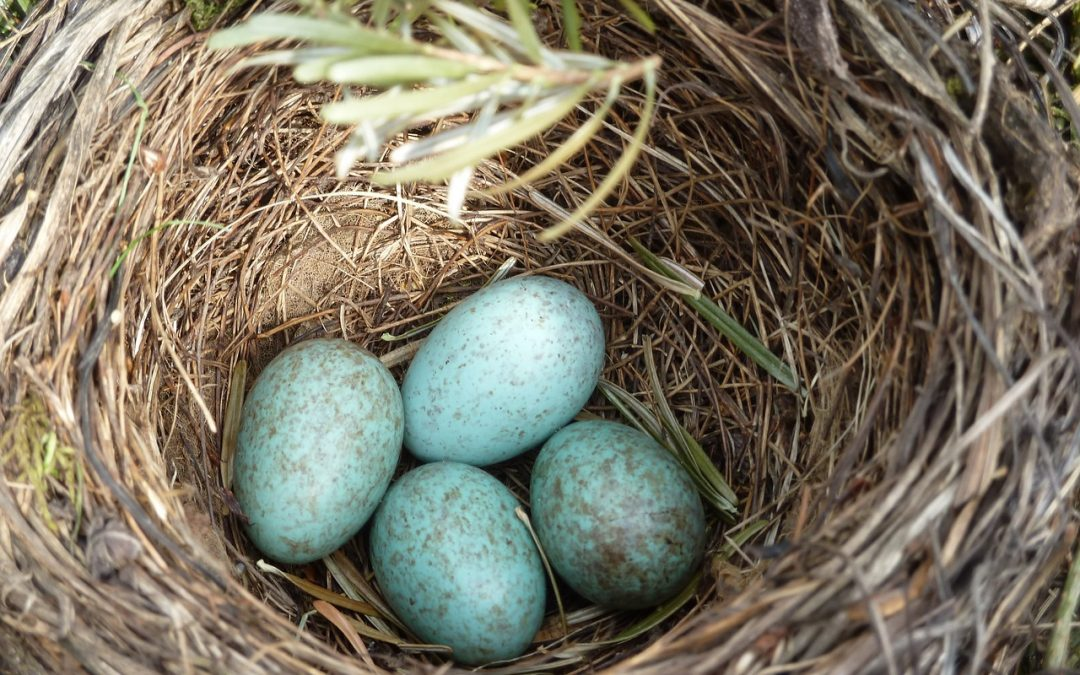 nest with blue eggs