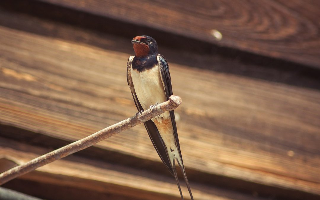 barn swallow on wire