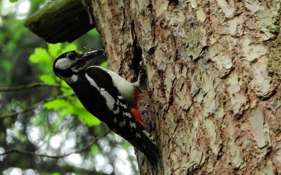 Woodpeckers are pecking holes in my trees