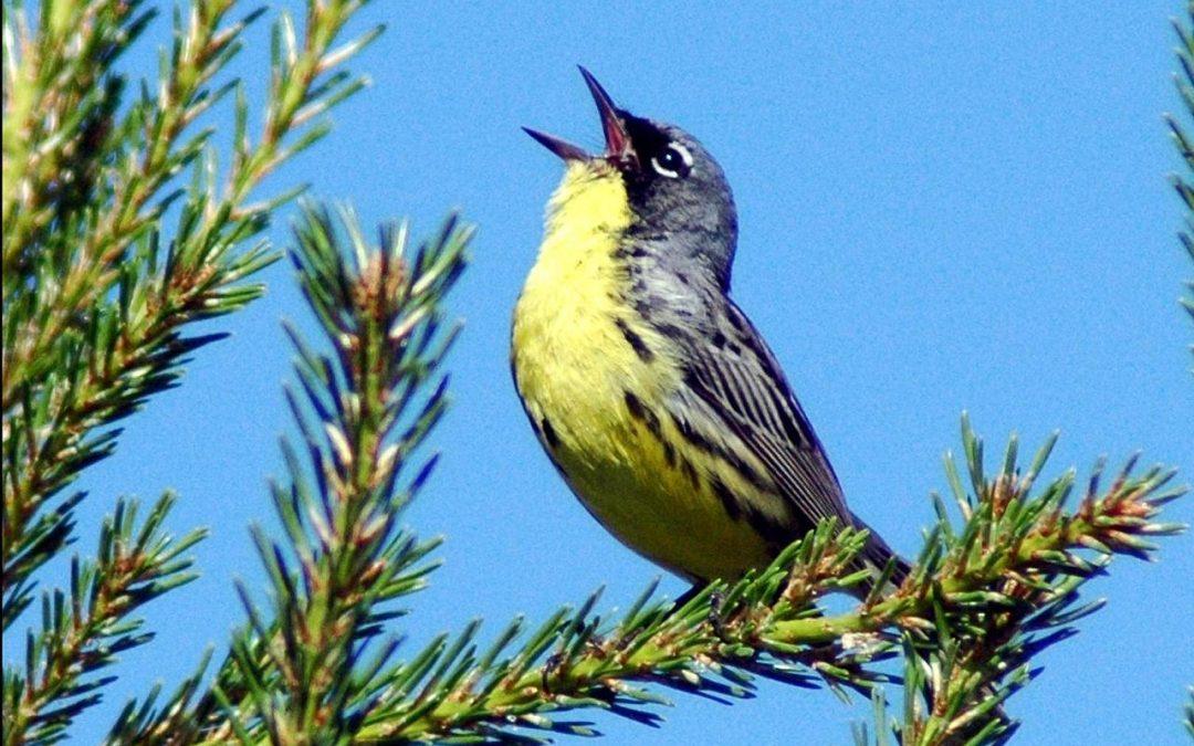 Using Bird Song Mnemonics