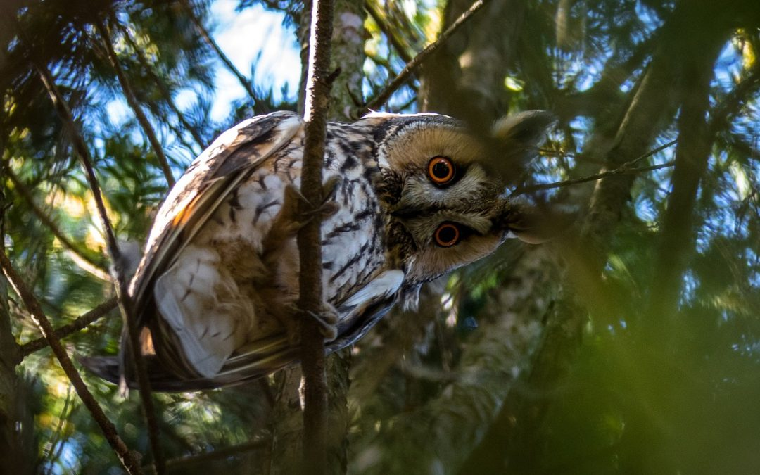 Tips for Finding Owls