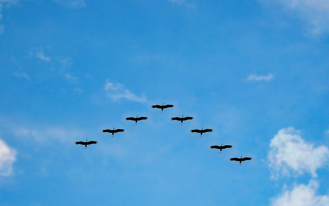 sandhill cranes flying in a vee formation