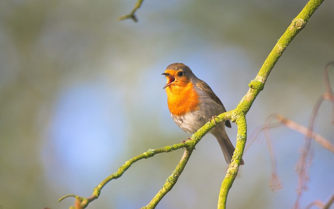 Why birds sing in the morning