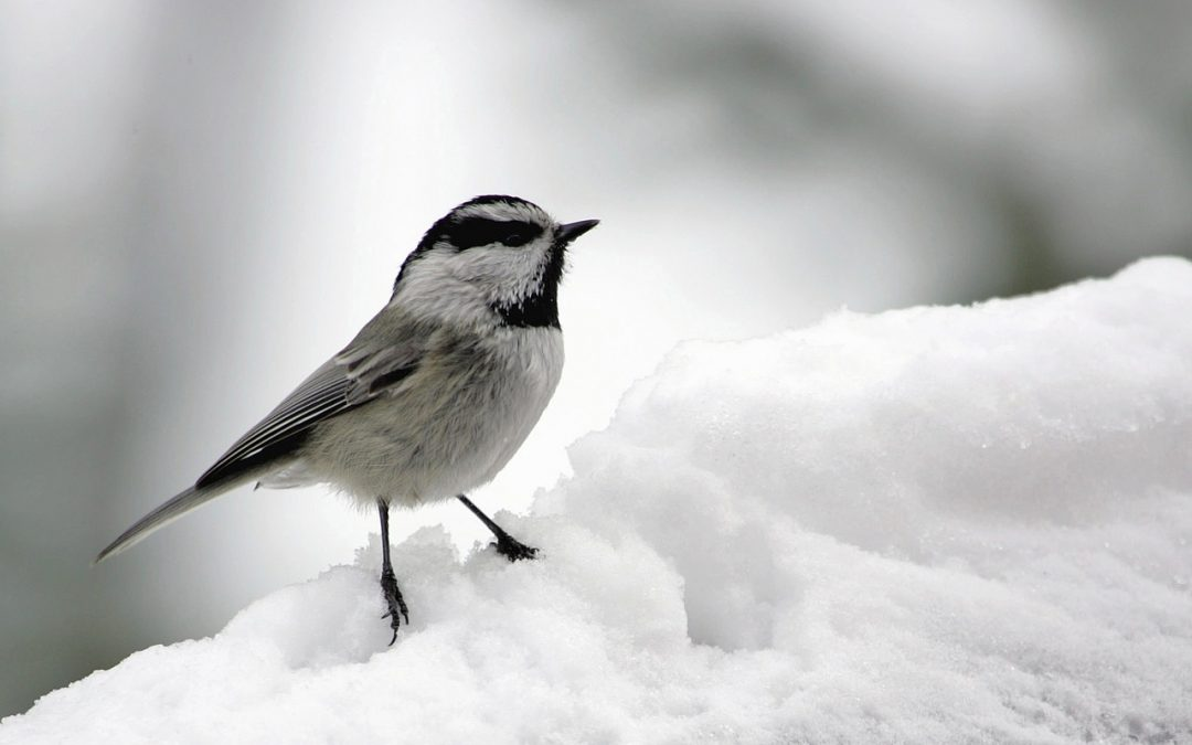 mountain chickadee in winter
