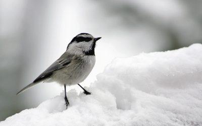 How Do Birds Stay Warm in Winter?