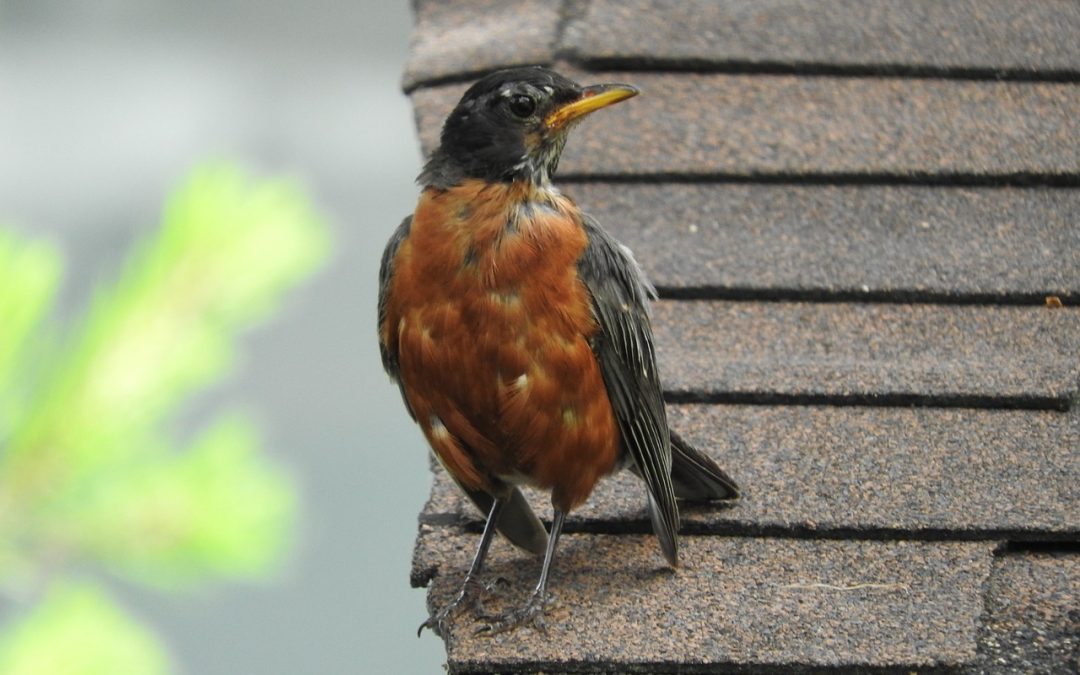robin on roof top