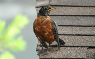 Why is a Robin is attacking our windows?