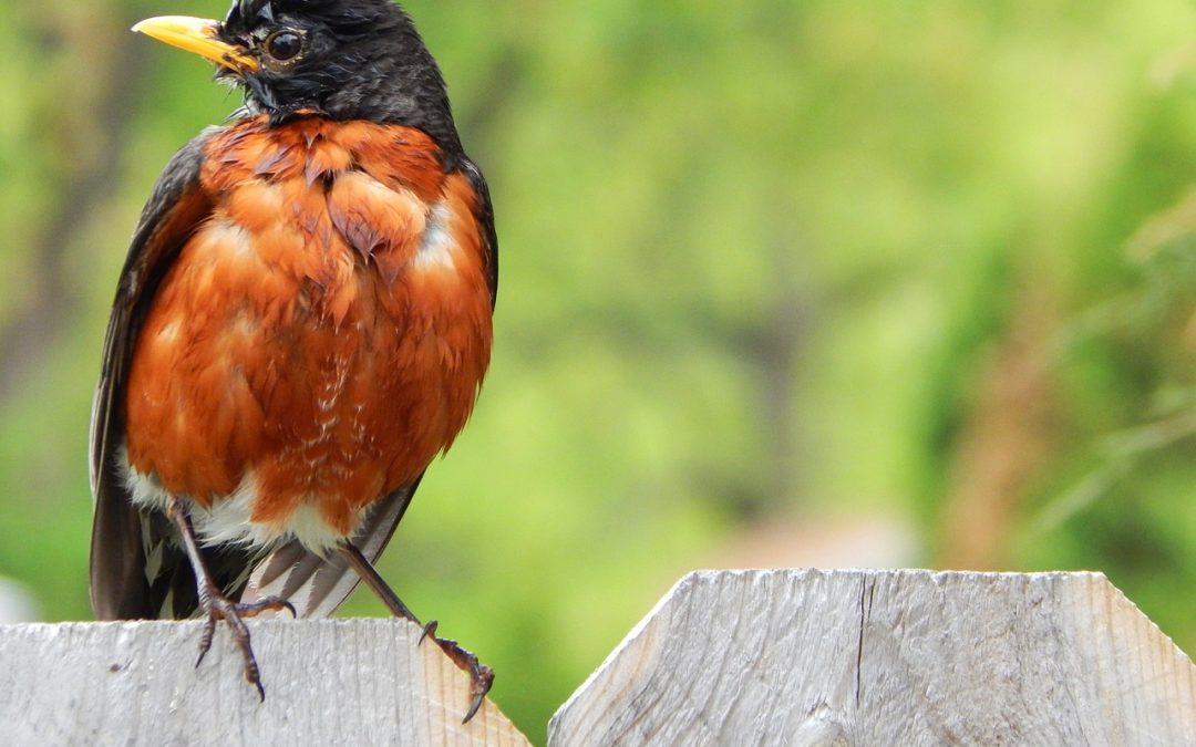 robin on fence